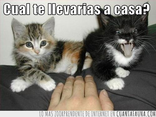 agresivo,elección,gatitos,tranquilo