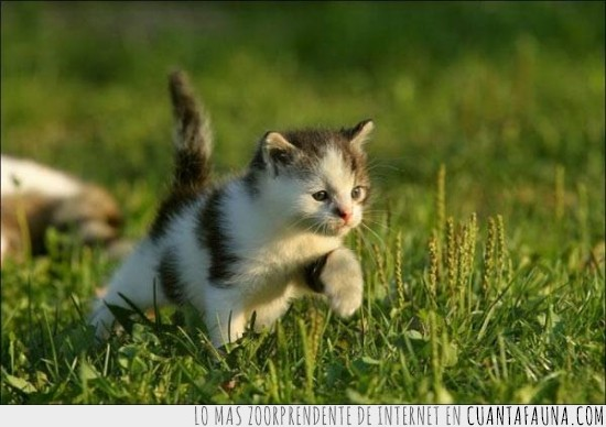 América,caminar,camino,gato,hierba,llegar