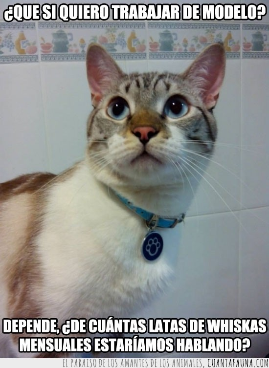 gato,guapo,latas de whiskas,mensuales,oferta,posar,trabajar