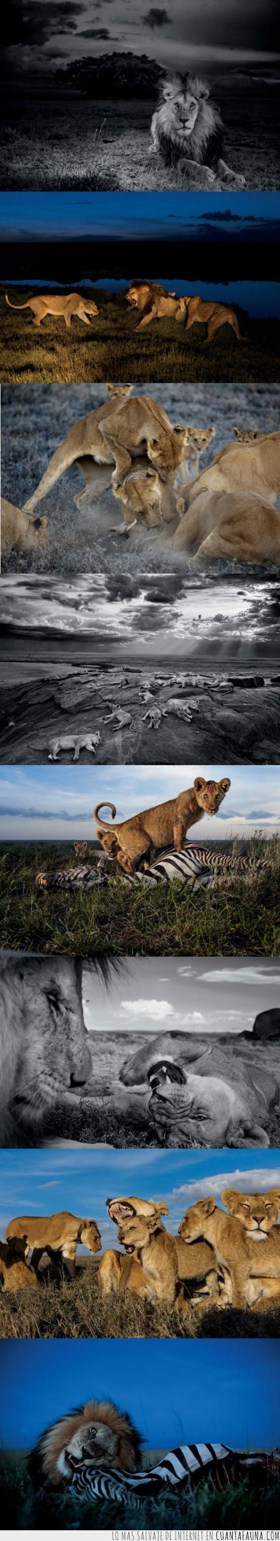 épico,felinos,fotos,leones