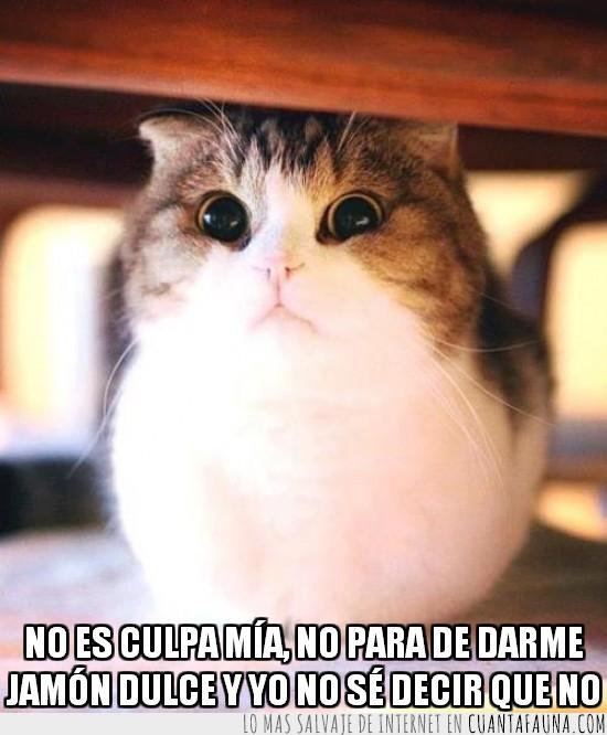 Bonito,engordar,Esponjoso,gato,Gordito,jamon dulce