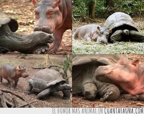 amistad,animales,de tranquis con mi colegui Hipo,hipopotamo,tortuga