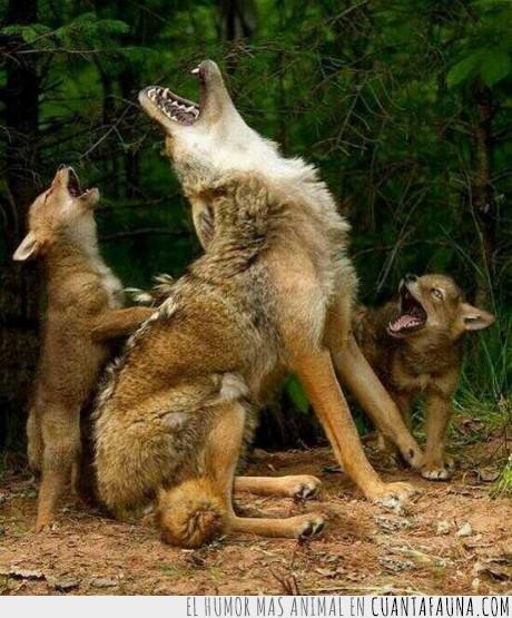 aullar,clase,coyote,enseñar,hijo,madre