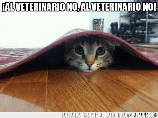 alfombra,gato,pobre gato,veterinario