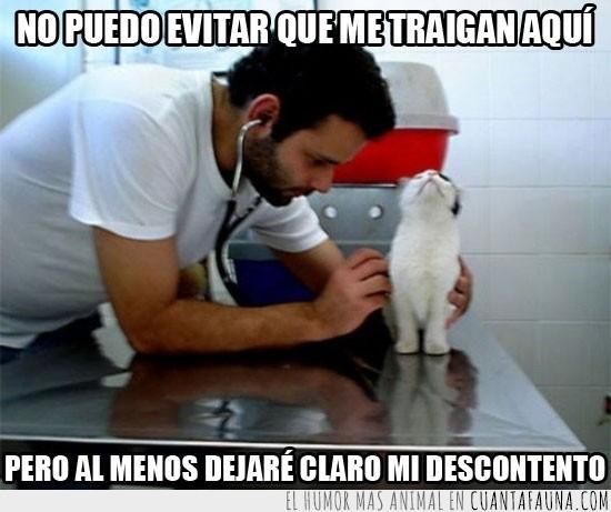 enfadado,evitar,gato,indignado,médico,veterinario
