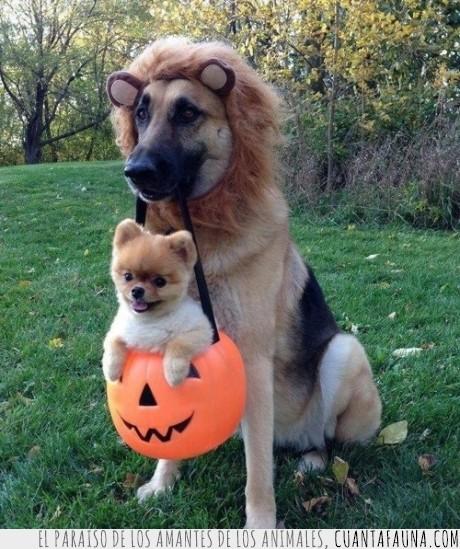animales,calabaza,derecho,disfraz,halloween,leon,perro