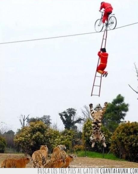 acróbata,china,circo,escalera,tigre