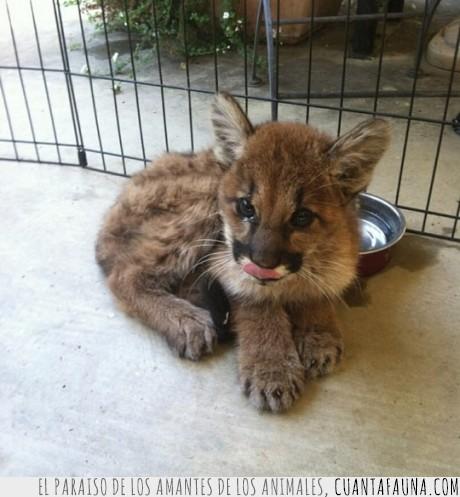 bebe,cachorro,joven,leon de montaña,puma