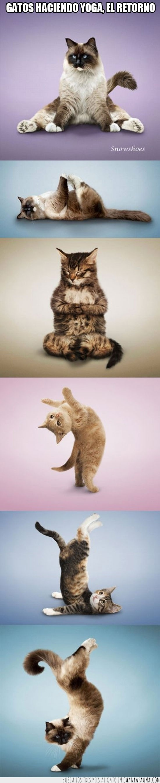 el retorno,gato,gatos,yoga,yoga cat