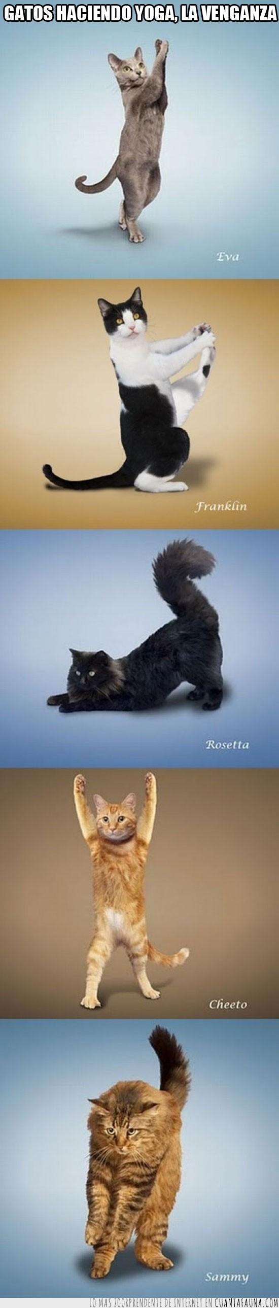 cat,gato,gatos,yoga,yoga cat