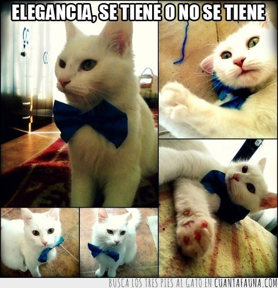 azul,elegancia,gatos,pajarita,se tiene o no se tiene