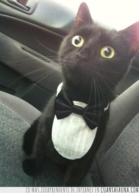 chaqué,elegante,gato,le han engañado como a un hombre de país asiático,ópera,veterinario