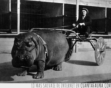 caballo,cojones,fail,foto antigua,Hipopotamo,win