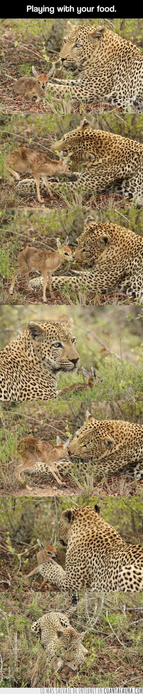 ciervo,comida,gacela,hierba,leopardo