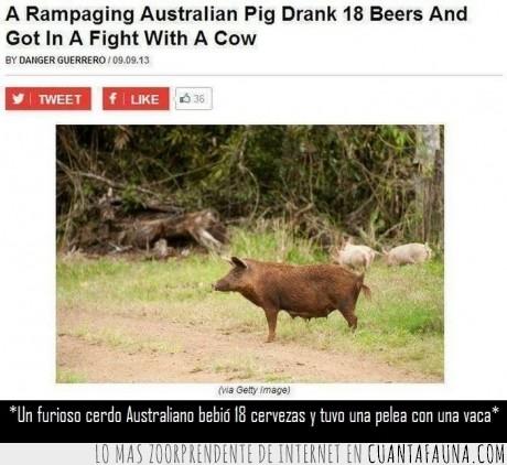 australia,australiano,beber,borracho,cerdo,cerveza,pelea,vaca