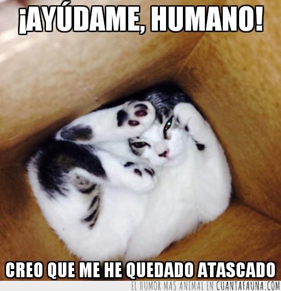 atascado,caja,encajado,encerrado,gato