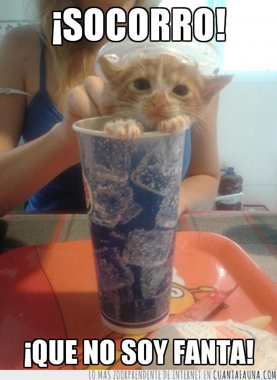 comida rapida,fanta,gato,refresco,vaso
