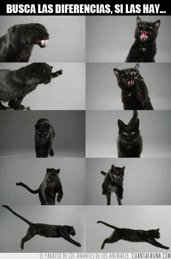 diferencias,gato negro,misma especie,pantera negra,similitudes