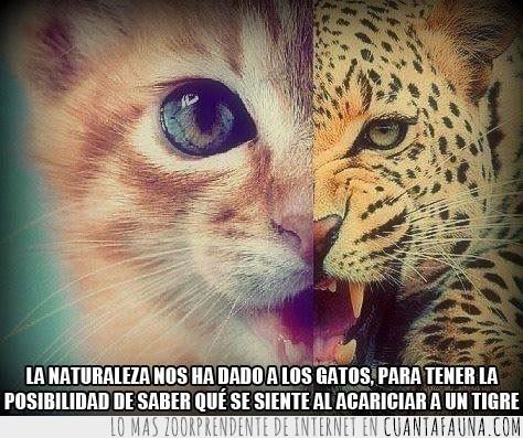 a escala,acariciar,gato,leopardo,naturaleza,tigre