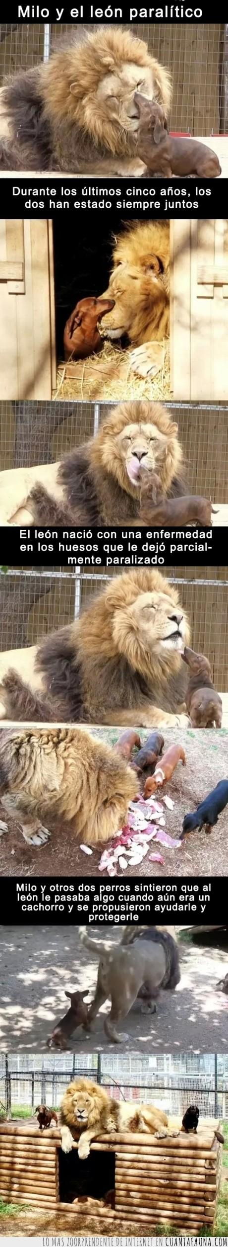 cachorro,leon,milo,paralitico,pequeño,perro,salchica