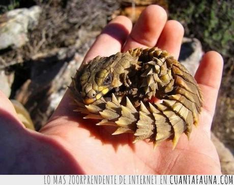 animal,cordylus cataphractus,dragon,escamas,lagarto