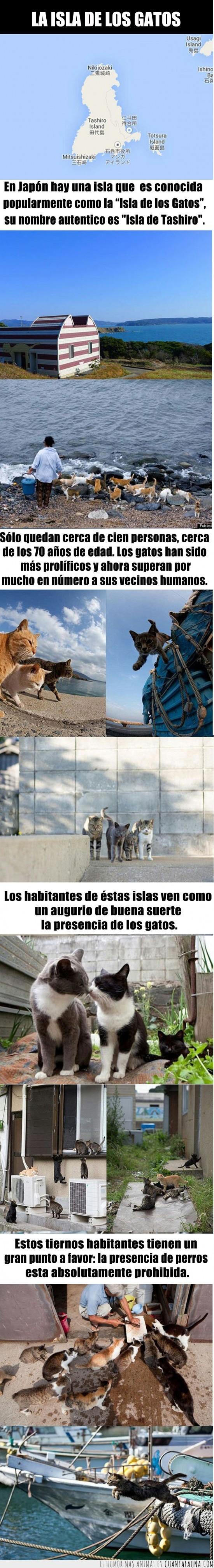 curiosidad,gatos,hogar,isla,japon,tashiro