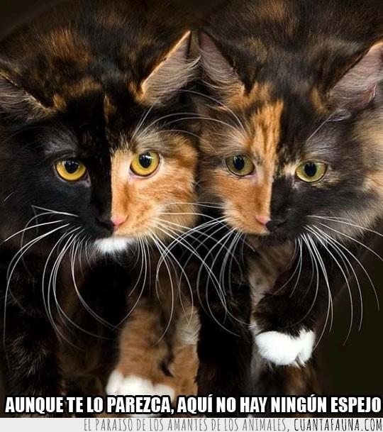 color,gatos,mitad,perfecto,simetricos
