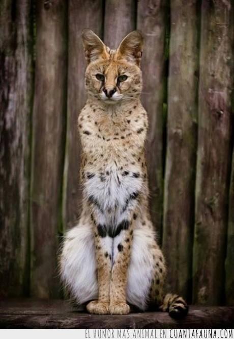gatito,gato,hermoso,lince,peludo,serval