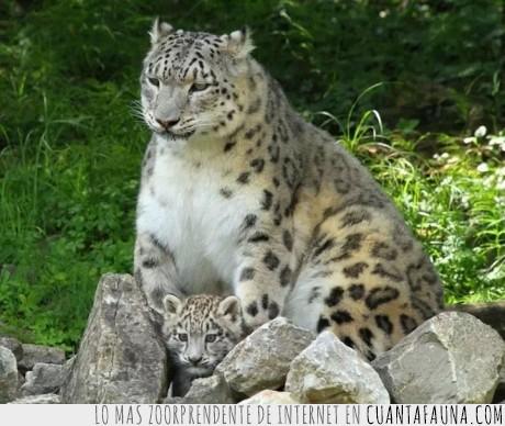 cachorro,embarazada,gorda,hembra,leoparda,leopardo,mujer
