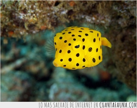 amarillo,cubo,manchas,pez,pez cubo,raro