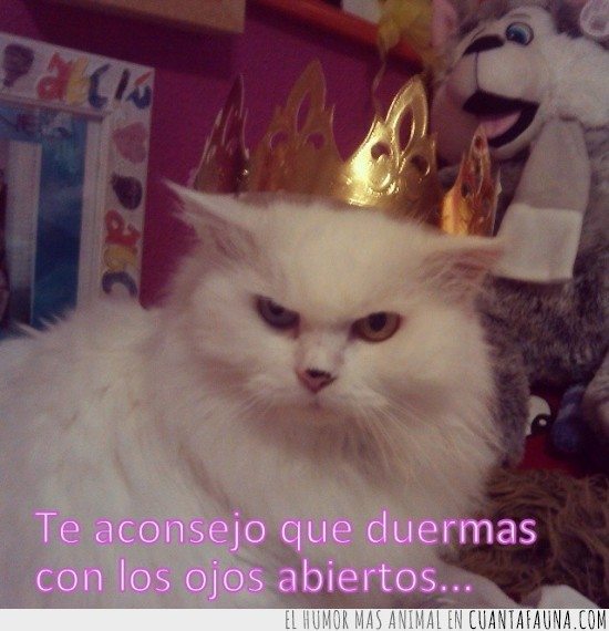 corona,desde que se hizo reina...,gato,mala leche,ojos abiertos