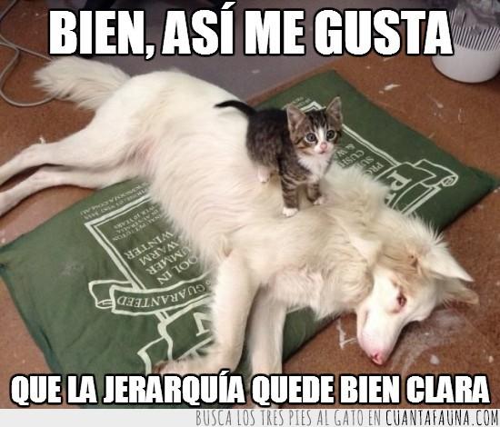 alfombra,cachorro,gatito,gato,jefe,mandar,perro