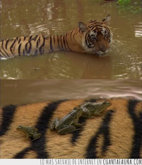 agua,alfombra,charca,cruzar,nadar,pelos,posarse,ranas,tigre
