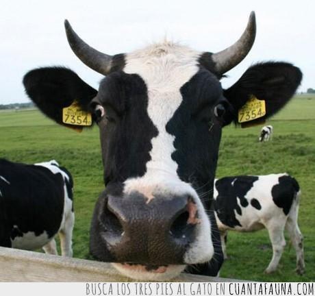 caras humanas,manchas negras,vaca