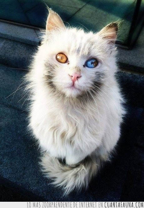 azul,distinto color,gato,gatos,heterocromía,marron,ojos