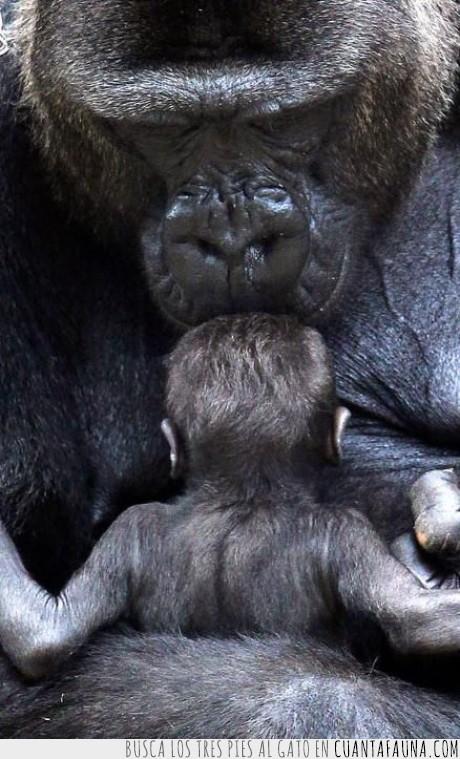 animal,bebe,beso,cuidar,gorila,hija,hijo,madre,mono,padre,pequeño