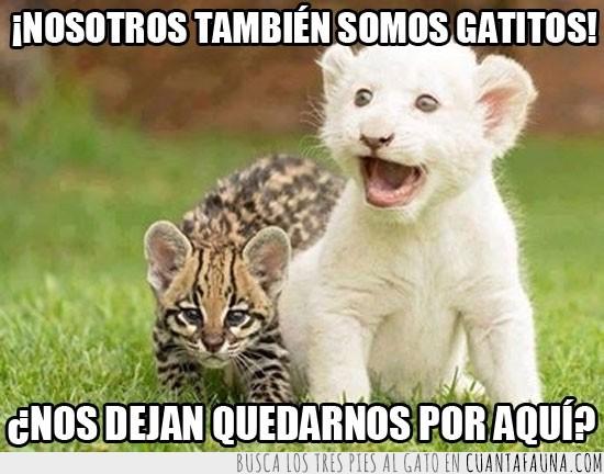 albino,bebes,cachorros,felinos,gineta,leon,ocelote