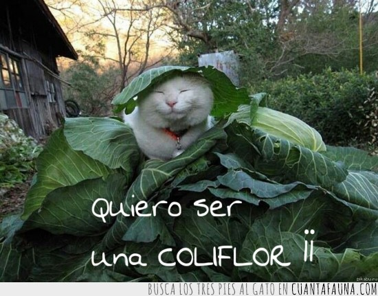 coliflor,flor,gato,hojas,refugiado