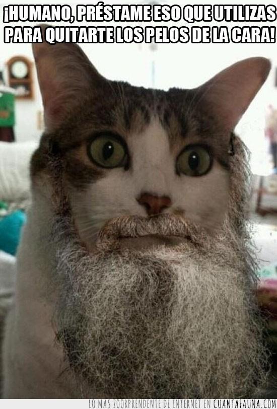 barba,gato,varonil,vellos