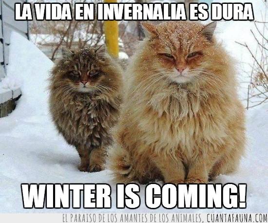 blanco,frase,frío,Gatos,invernalia,Juego de Tronos,nieve,pelo,serie,stark,winter is coming