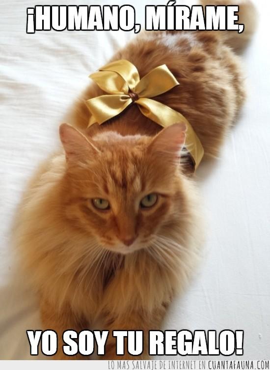 claro,Gato,humano,lazo,marrón,mejor,mirar,monada,regalo