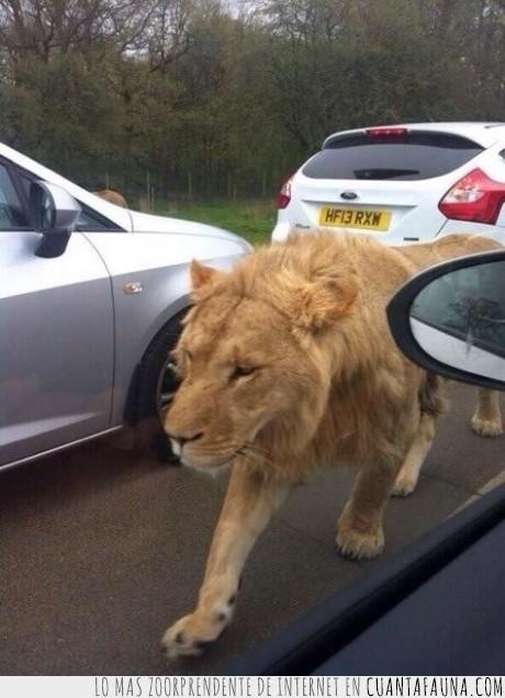 atasco,carretera,coche,león,lo llamaré mittens,perdido
