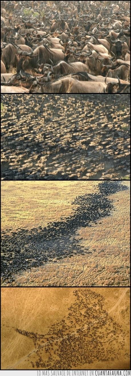 Africa,arriba,fotos,migracion,millones,Ñu,sabana,Serengueti,vista