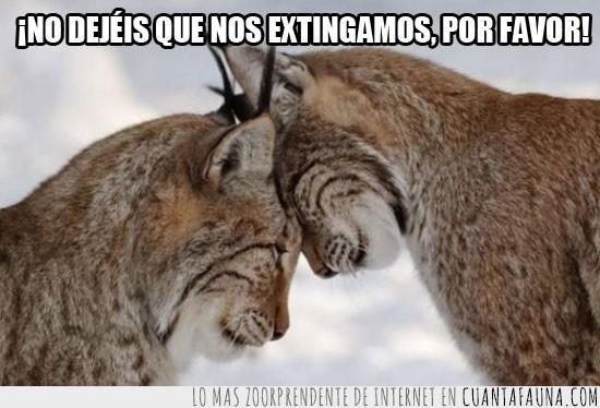 amor,extinguir,felinos,gatos,linces