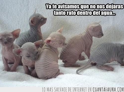 adopción,arrugados,baño,bebés,crías,cucada,egipcios,gatos,Monadas,pelo,sensibilidad,sin