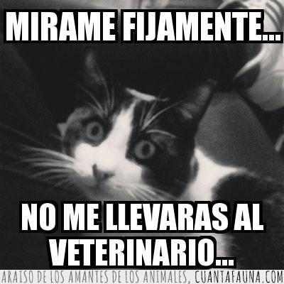 cara,Gato,gracioso,hipnosis,meme,veterinario