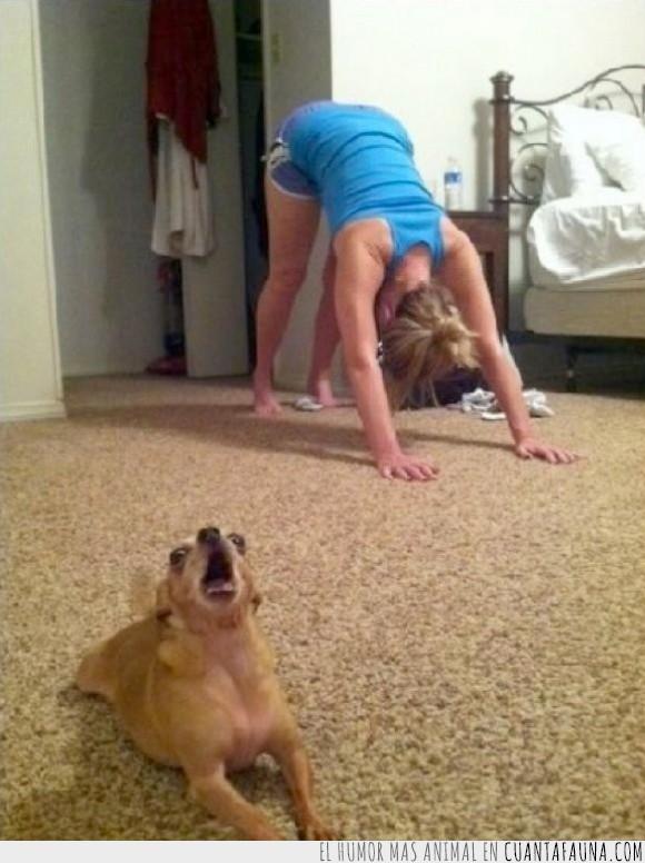 chihuahua,foto,perro,pilates,posicion,yoga