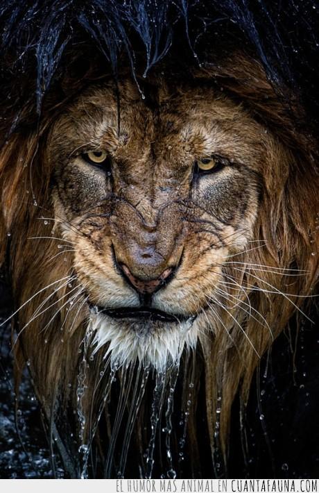 agua,cara,félido,felino,León,rey,rostro,viejo