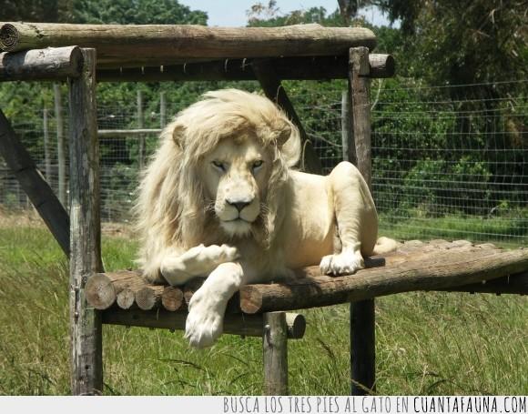 albino,blanco,fabulous,leon,pelo,postureo