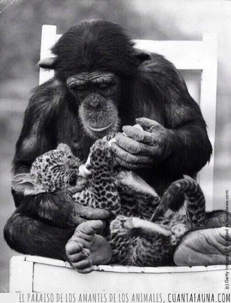 bebe,beber,biberon,chimpance,guepardo,leopardo,mono,simio,zoo